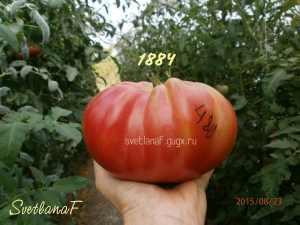 томат сорт 1884