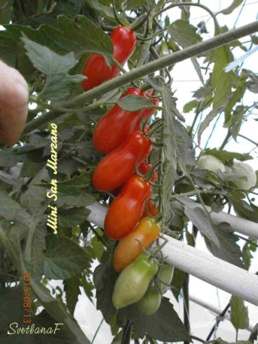 томат Mini San Marzano-3