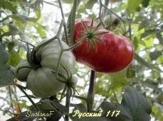 томат Русский 117