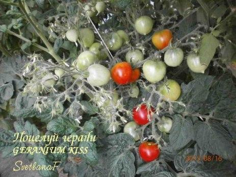 томат Поцелуй герани
