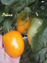 томат Рейна