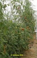 томаты в-теплице