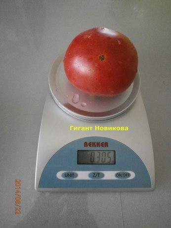 томат гигант-новикова