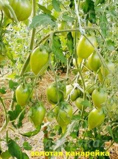 томат Золотая-канарейка-кисть