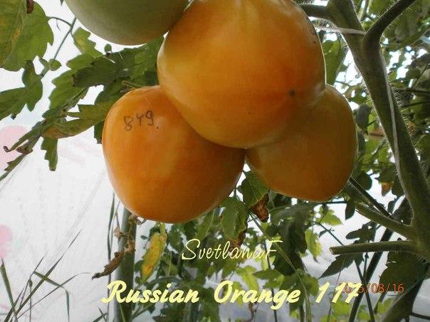 томат Orange Russian 117