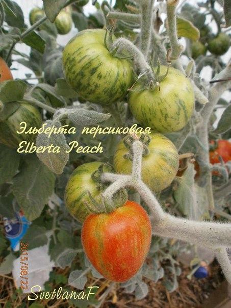 томат Elberta Peach