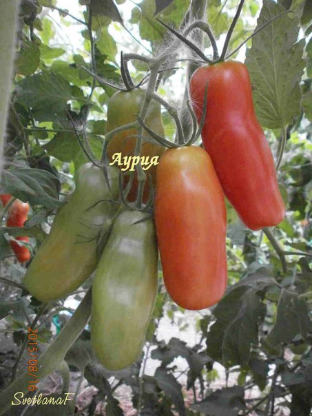 помидоры длинные сорта фото