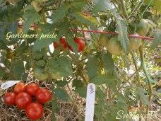 томат Gardeners pride