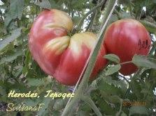томат Herodes