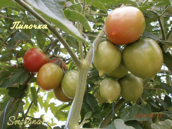 томат Сызранская пипочка