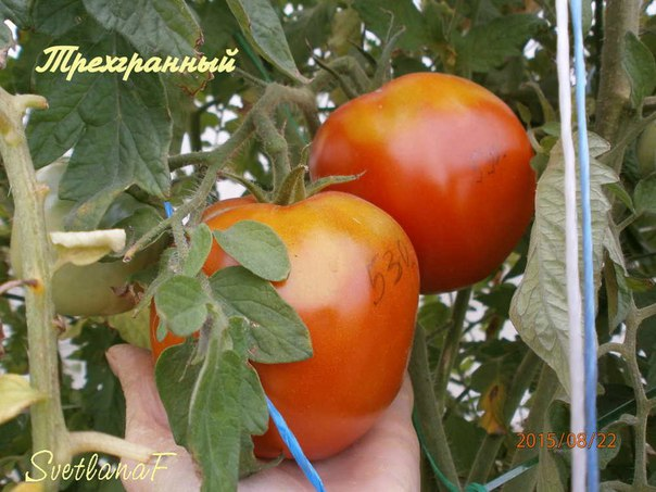 томат Трехгранный