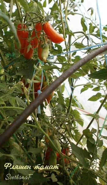 Фляшен-томат