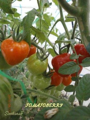томат TOMATOBERRY