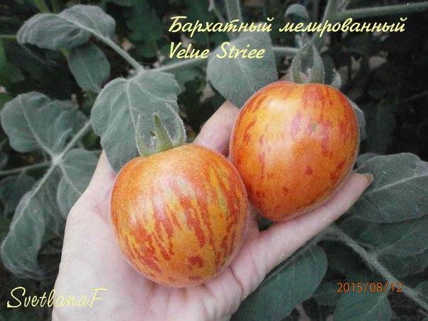 томат Бархатный мелированный