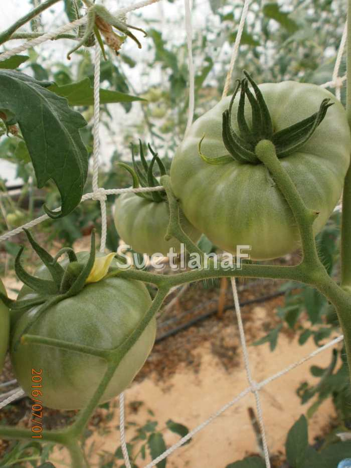 томат Царский любимец