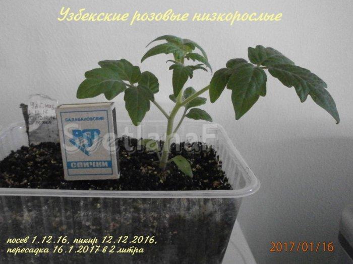 Узбекский розовый низкорослый