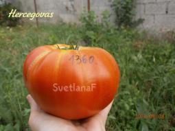 томат Hercegovac