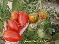 томат Jersey Devil