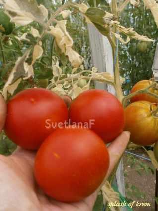 томат splash of krem